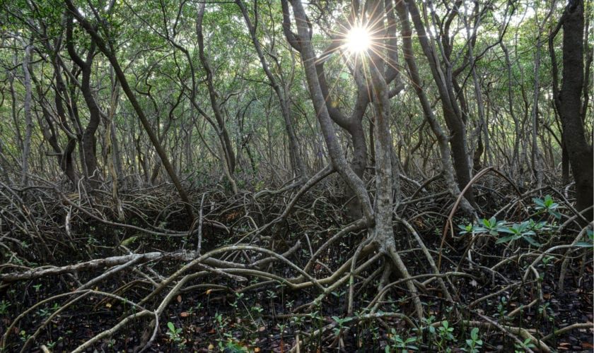 Red Mangroves, Weedon Island. Photo credit: Beth Reynolds/Morean Arts Center