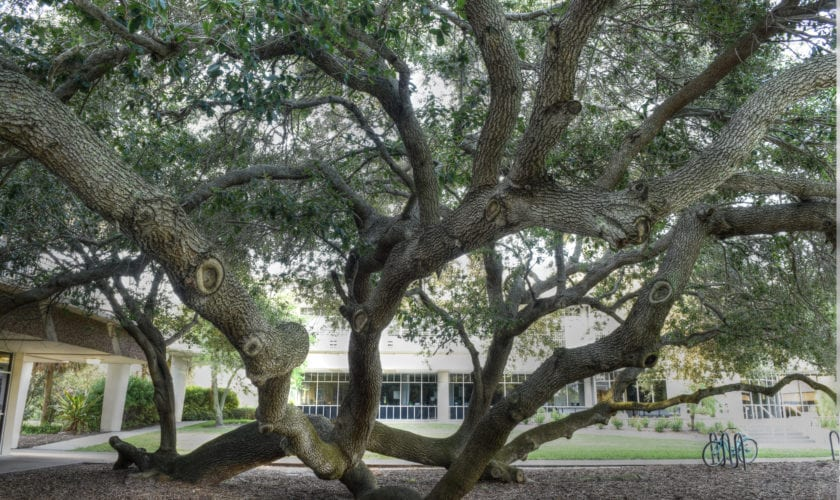 Friendship Live Oak, Eckerd College. Photo credit: Beth Reynolds/Morean Arts Center