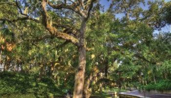 """""""Charles"""" Oak, Roser Park. Photo credit: Beth Reynolds/Morean Arts Center"""