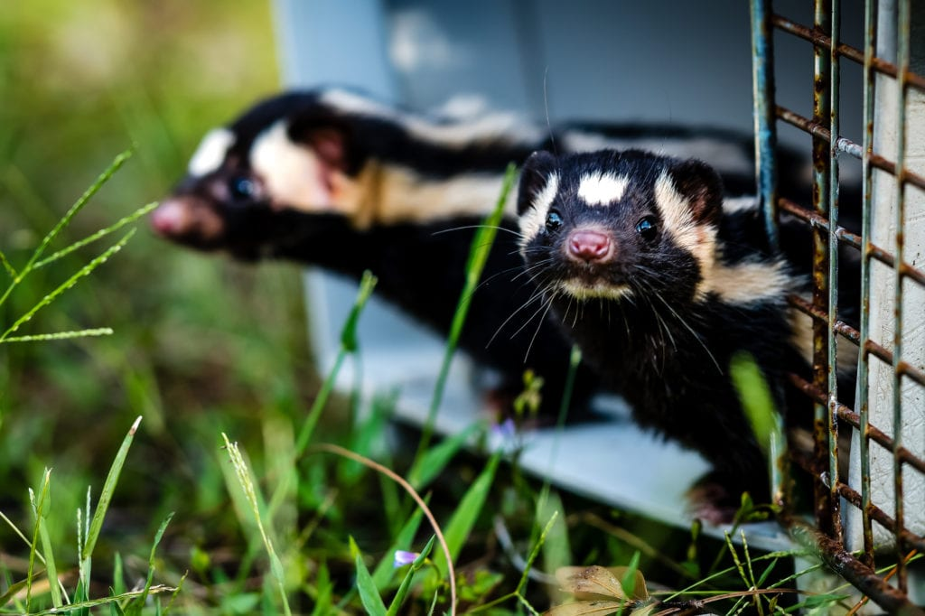 Spotted skunks by Douglas DeFelice/Prime 360 Photography