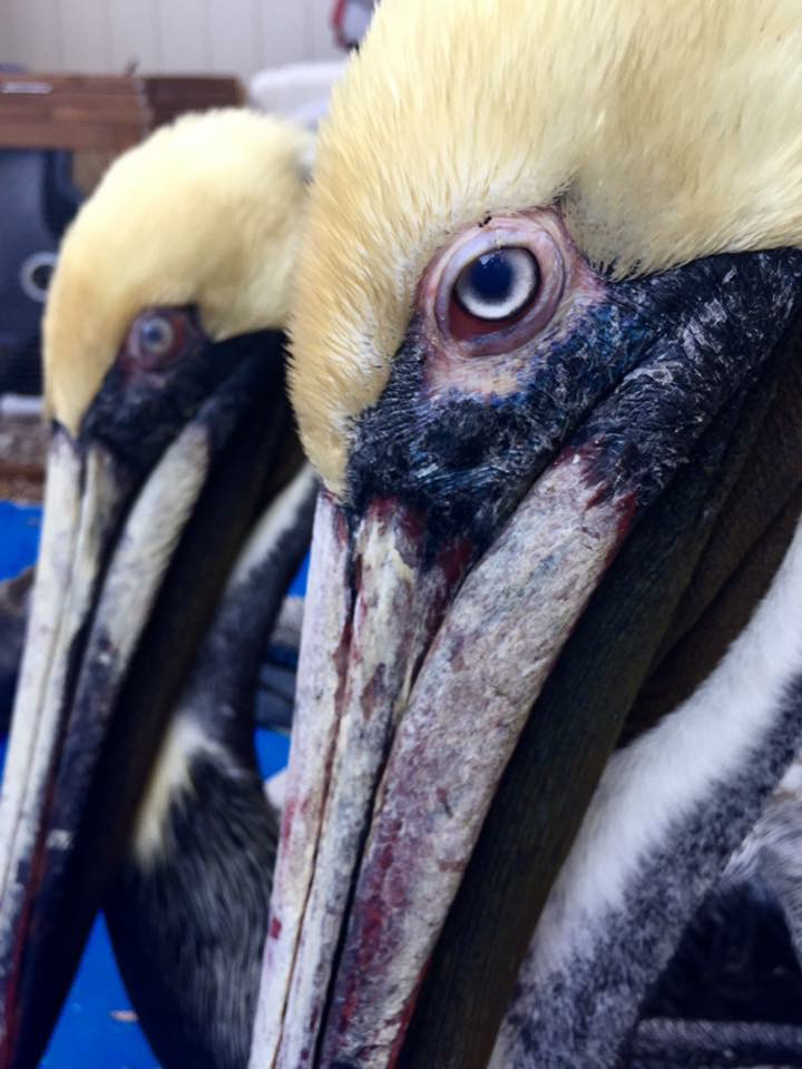 Photo of rescued pelicans by Heather Davies.